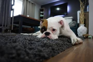 Your Ultimate Guide to Removing Pet Stains from the Carpet